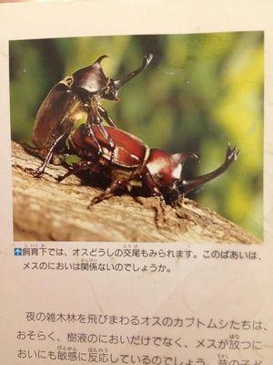 寿命 カブトムシ 交尾